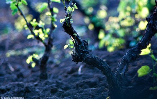 Vignoble by LuciaConstantin