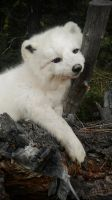 Arctic Fox Softmount by AdarkerNEMISIS