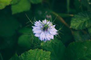 Love in a mist by cindywebbphotography