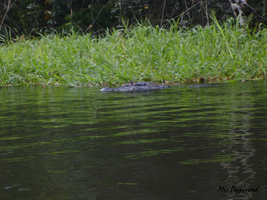 Alligator 3 by MrsPepperseed