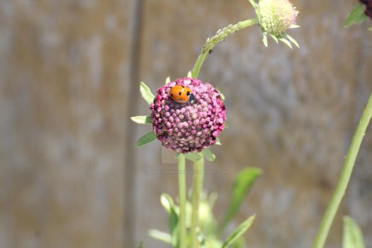 Ladybug and Aphids by ChinookDesigns