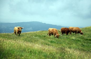 Highland Cattle by JanKacar