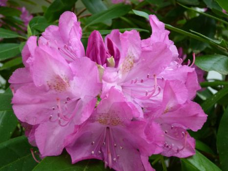 Rhodie by Art-From-The-Id