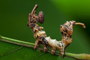 Lobster Moth Caterpillar by melvynyeo