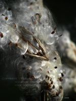 .milkweed seeds. by Foozma73