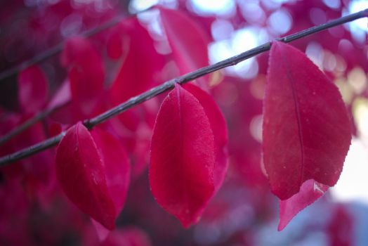 Red Leaves by BradyLane