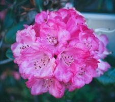 Pretty in pink by cindywebbphotography