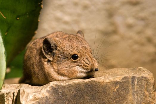 Round-eared Sengi by duncan-blues