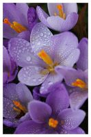 wild crocus 1 by Floriandra