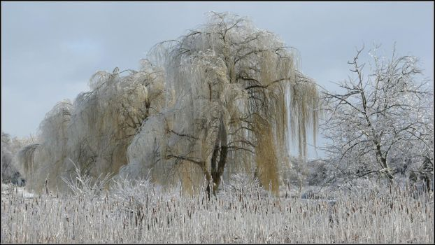 Frozen Tears Of Weeping Willow by Tasky
