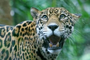 Surprised Jaguar by Kippenwolf