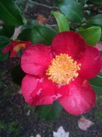Red and yellow flower with rain water by MahniAliceSkaggs