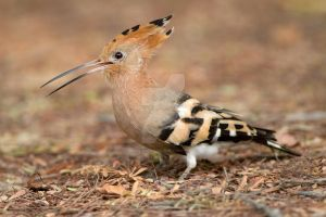 Smile - Hoopoe by Jamie-MacArthur