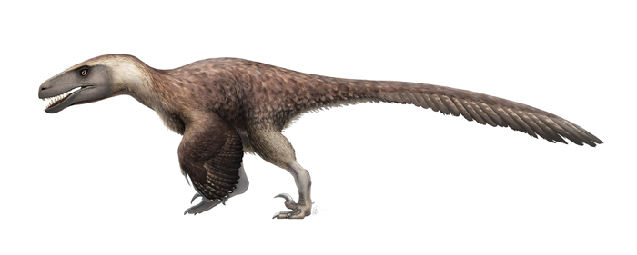 Utahraptor ostrommaysorum for Wikipedia by FredtheDinosaurman