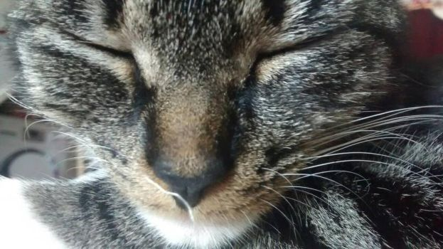 Tabby Cat Close Up by blueeyedsnowflake