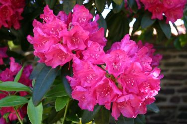 Rhododendron rose by Pandate