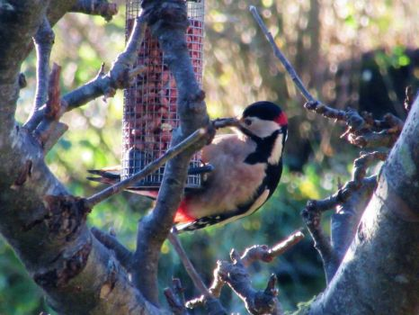 Great spotted woodpecker by buttercupminiatures