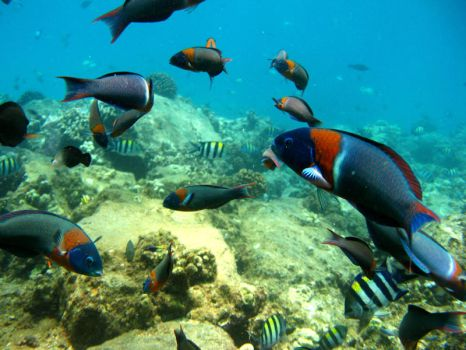 Saddle Wrasses by X5-442