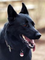 Pia the Belgian Shepherd by KaineHillPhotography