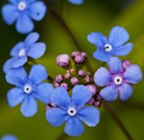 Forget me not III by Bozack