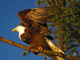 Eagle Spreading WIngs To Fly by wolfwings1