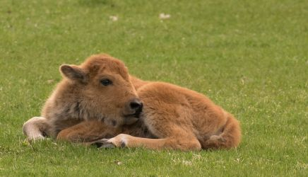 Baby Bison by smsldoo