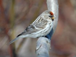 Arctic Redpoll 07 by nordfold