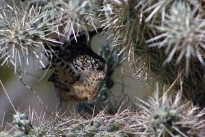 Cactus Wren in his comfort zone by finhead4ever