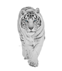 White tiger on a transparent background. by ZOOSTOCK