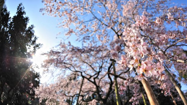 Cherry Blossom Wallpaper 2011 by WindyLife
