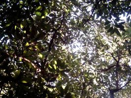 Avocado Grove Canopy 1 by dracontes
