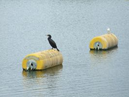 .Two birds, two bouys. 0099 by DelinquentDog