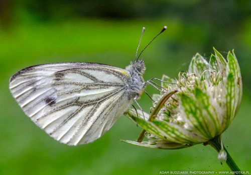 White butterfly by parsek76