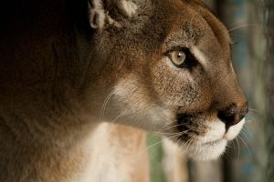 Cougar 8 by lilmermaid89