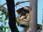 Tree Kangaroo 002 by Elluka-brendmer
