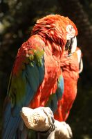 Couple Parrots in Cuernavaca by azpepe