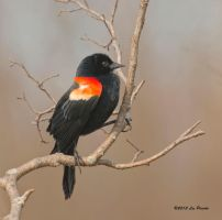 Red-Winged Blackbird by Les-Piccolo