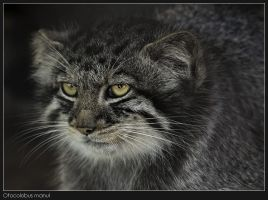 Otocolobus manul by Dickie67