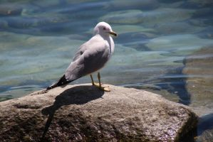 Ring-Billed Gull (Larus delawarensis) by minamiko