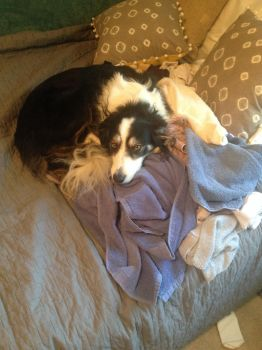Laundry Day With a Border Collie by unionrox006