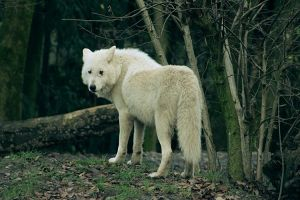 Arctic wolf by Kagay