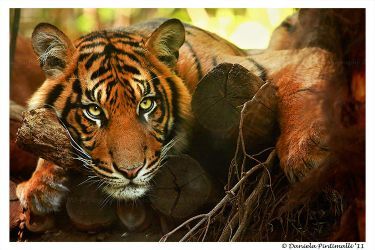 Tiger: Model by TVD-Photography