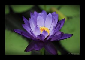 Blue Lotus . by 999999999a