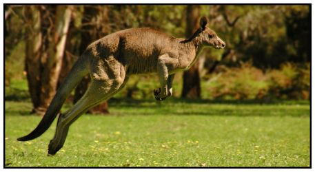 kangaroo by SMALLBROWNFISH