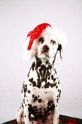 santa dalmation by svennis82