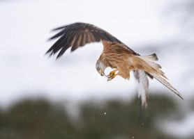 Red Kite Eating on the Wing by joeelway