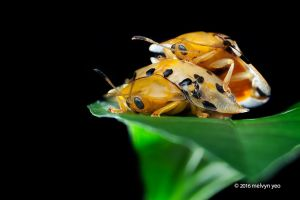 Mating Tortoise Beetle by melvynyeo