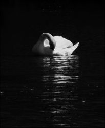 lonely swan by SvitakovaEva
