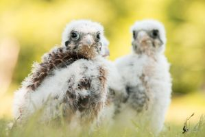 Baby American Kestrels by EdgedFeather