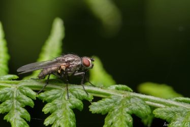 Muscid fly side profile by DPSparhawk